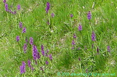 Temperate orchids can be seen in the Jura mountains