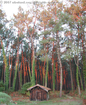 A Landaise hut sheltered by 30 to 40-year-old pines, reddened by the rising sun, 2007
