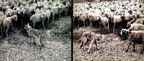 sWolves nterested in sheep, and being scared away