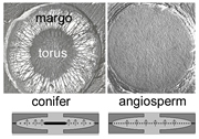 Electron microscope images of conifer and angiosperm tree cross-sections. Image credit: Utah University