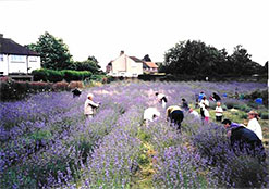 Carshalton lavender field. Image source: pictureofchange.org.uk