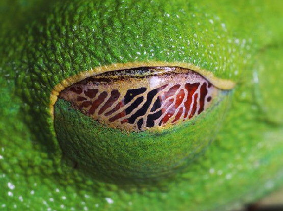 The eye of a frog at rest, showing its nictitating membrane. Credit: nature.org