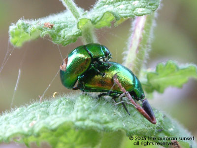 Two green and gold beetles on a leaf. Image credit: the auroran sunset
