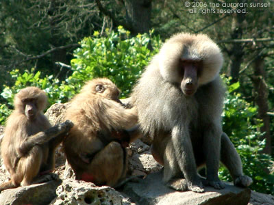 Chain of three baboons grooming each other. Image credit: the auroran sunset