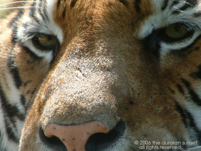 Close-up of a tiger's face. Image credit: the auroran sunset