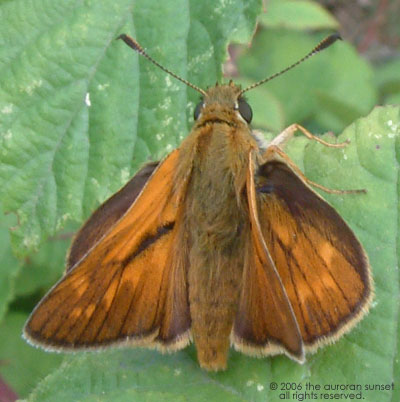 Small skipper: orange and brown with big bug eyes and vulcan wings. Image credit: the auroran sunset