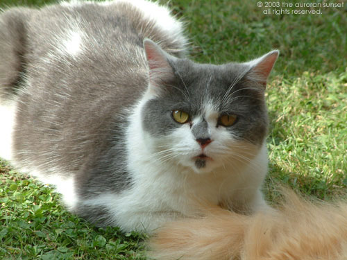 A beautiful long-haired grey and white cat called Heloise. Image credit: the auroran sunset