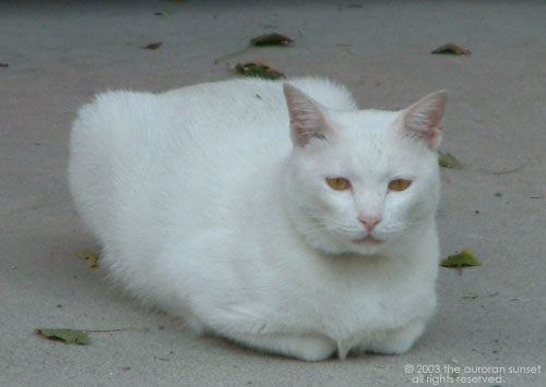 White temple cat at Daizaifu, Fukuoka, Japan. Image credit: the auroran sunset