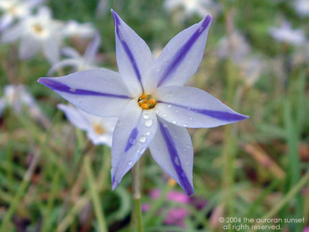 A pretty blue flower at Senganen (Iso Gardens). Image credit: the auroran sunset