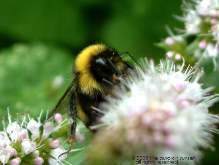 A bumblebee. Image credit: the auroran sunset