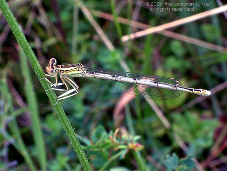 A damselfly. Image credit: the auroran sunset
