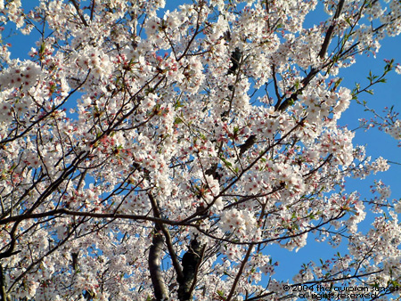Cherry tree in full bloom. Image credit: the auroran sunset