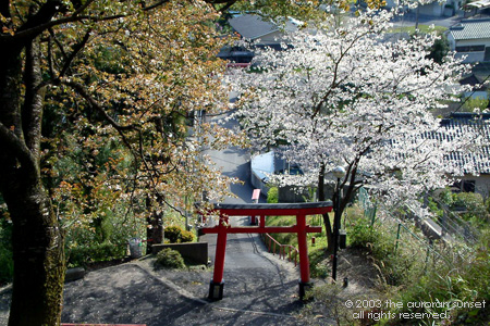 Cherry tree at a small Shinto shrine. Image credit: the auroran sunset