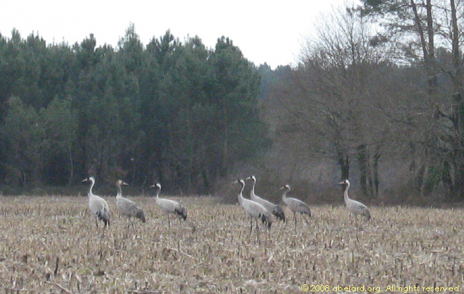 Cranes in a now harvested maize field, 20 February 2008.